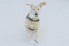 Gillian-Ford_-Dog-in-the-snow